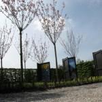 Bloeiende Prunussen in de festivaltuin in Appeltern 2015